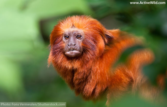 Golden lion tamarin endangered rainforest monkey