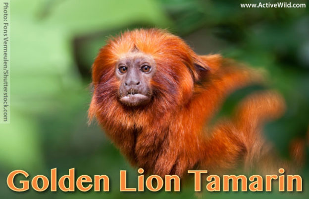 Golden lion tamarin facts