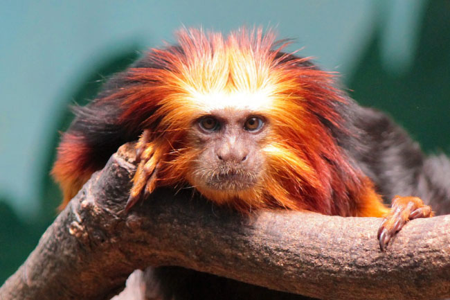 Golden lion tamarin in tree