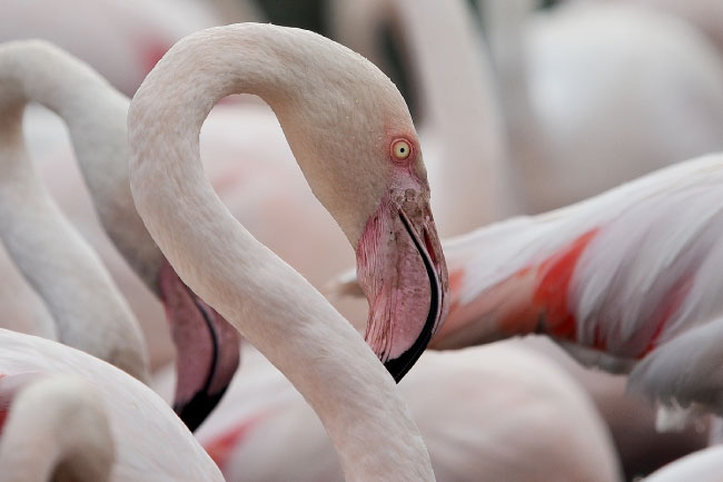 Greater Flamingo Close Up
