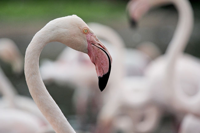 Greater Flamingo Facts For Kids Students Amp Adults