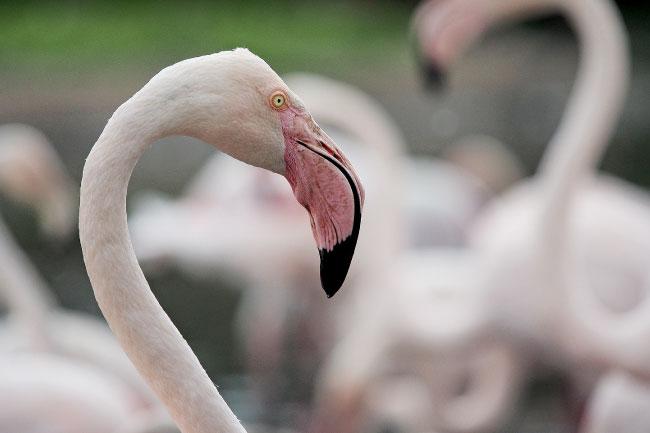 Greater Flamingo Head