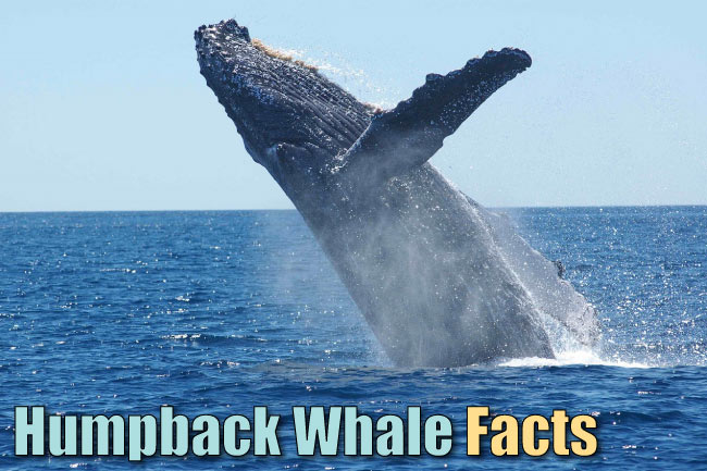 Humpback whale facts for kids
