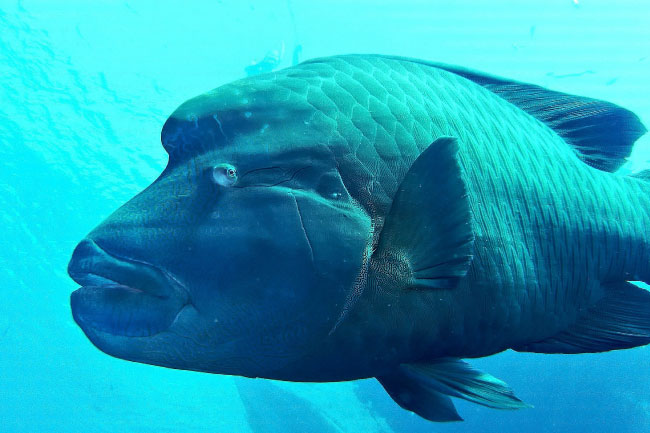 Humphead wrasse endangered fish of the coral reef