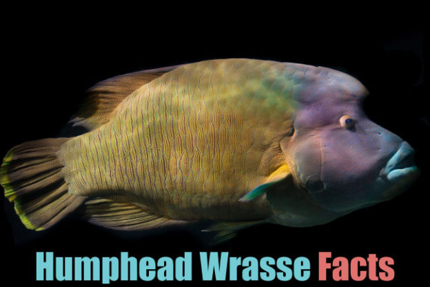humphead wrasse facts
