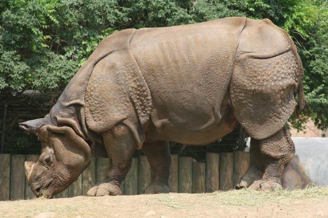 Indian Rhinoceros Rainforest Mammal