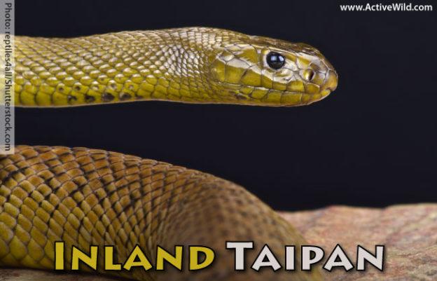 Inland Taipan Facts
