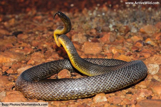 Inland Taipan Australian Snake
