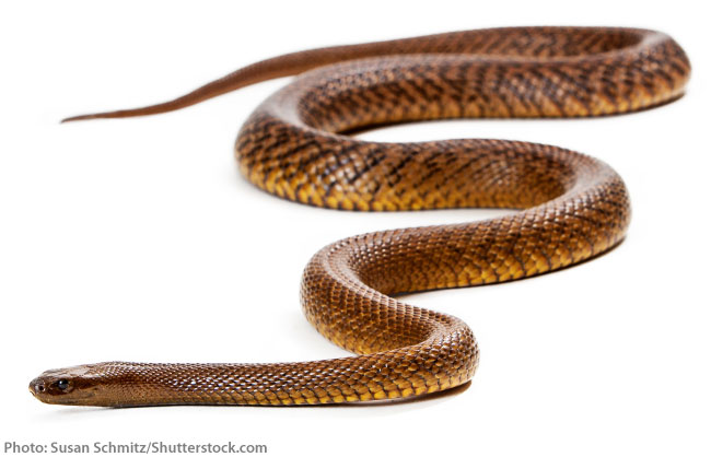 Inland taipan whole body
