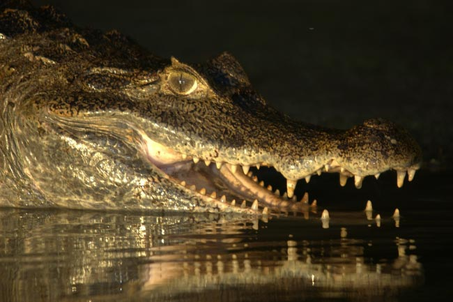 Orinoco Crocodile rainforest reptiles