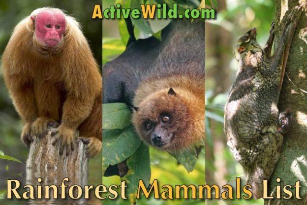 Rainforest Mammals List