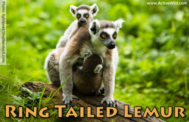 Ring tailed lemur facts