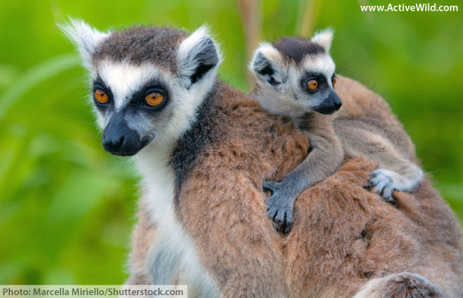 Ring tailed lemur mother and baby
