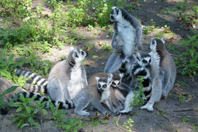Ring tailed lemur troop