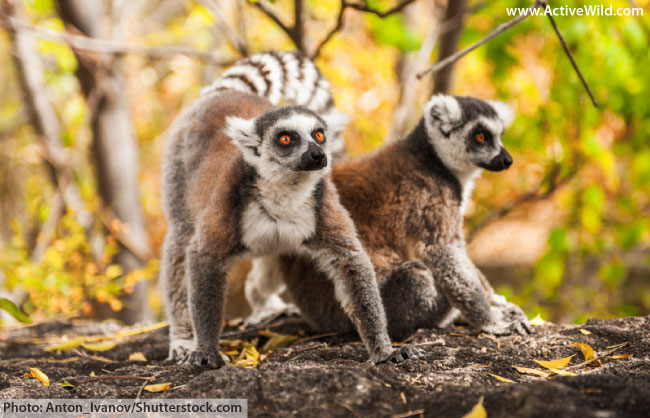 Ring tailed lemurs in the wild