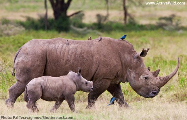white rhino with baby