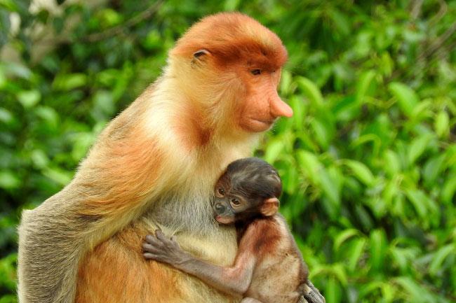 female proboscis monkey with baby