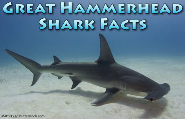 great hammerhead shark facts for kids