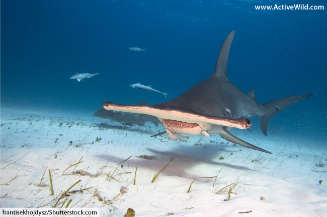 Great Hammerhead Shark Facts, Pictures & Video. Discover ...