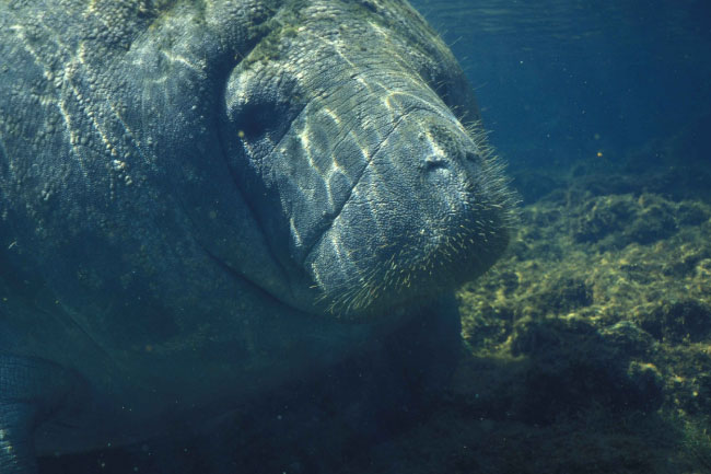 manatee whiskers