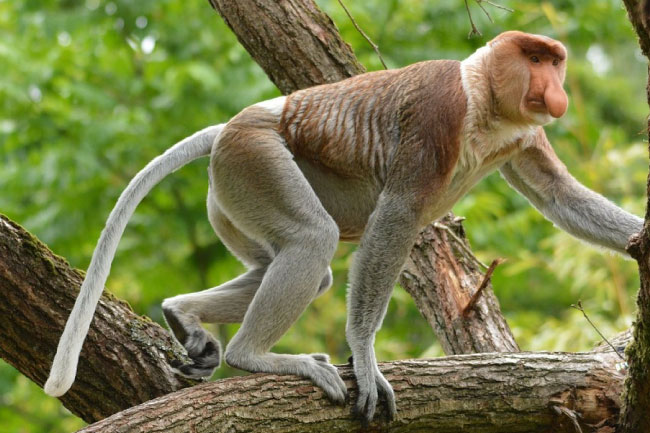 proboscis monkey climbing