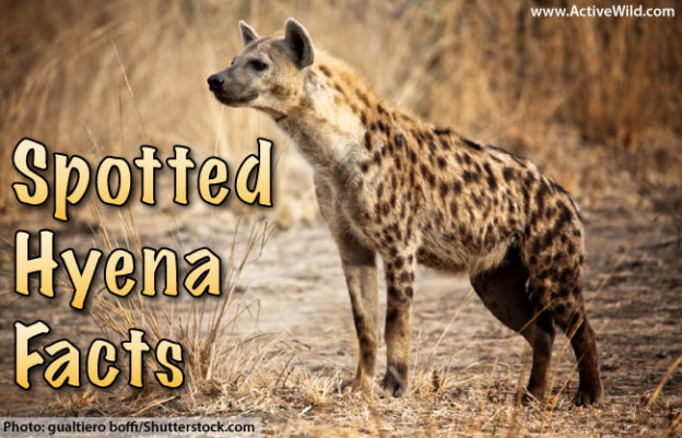 spotted hyena facts  pictures  u0026 video  in