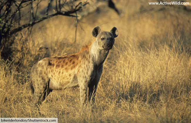 spotted hyena in grass