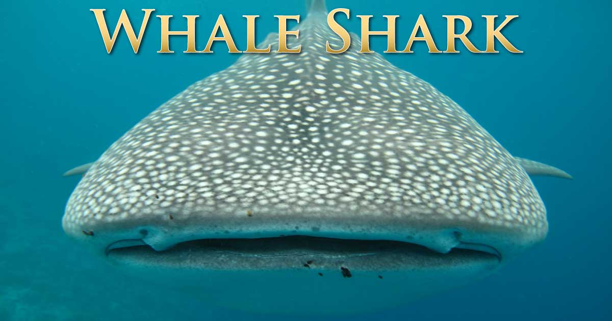 Whale shark facts discover the biggest fish in the world for Fish facts for kids