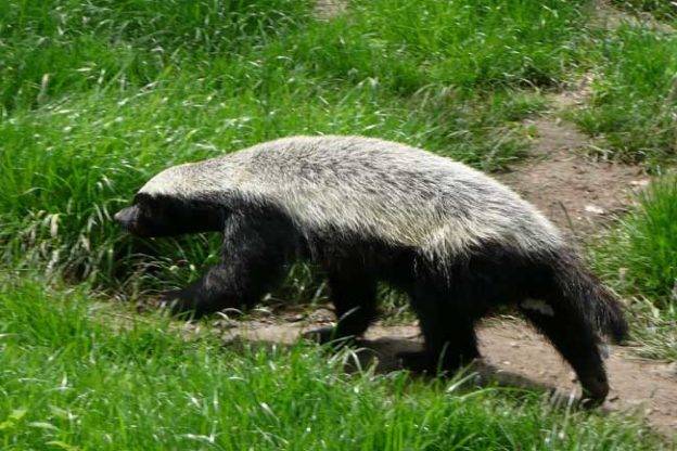 honey badger facts