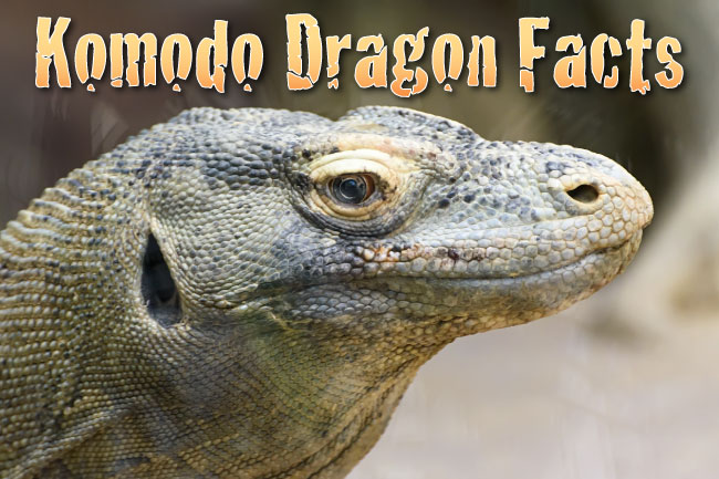 komodo dragon facts pictures in depth information video learn about the biggest lizard in. Black Bedroom Furniture Sets. Home Design Ideas