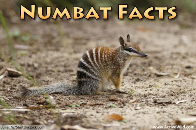 numbat facts