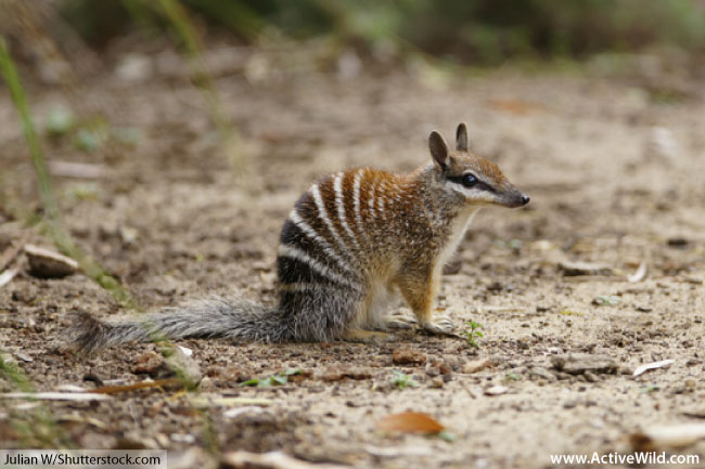 numbat endangered marsupial
