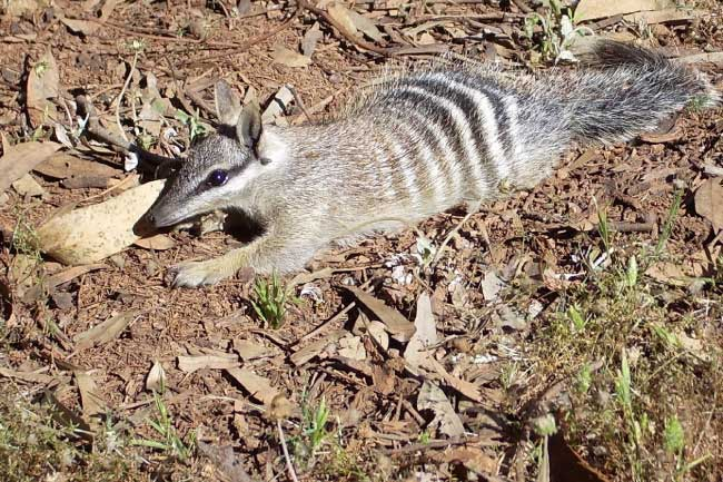 numbat on ground