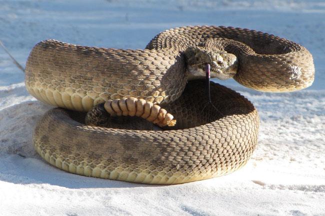 prairie rattlesnake close up