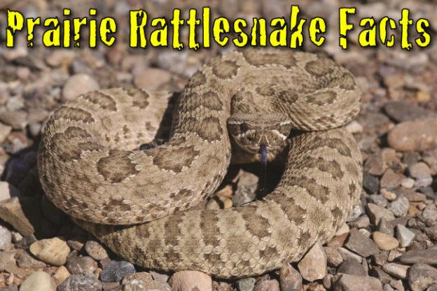 prairie rattlesnake facts