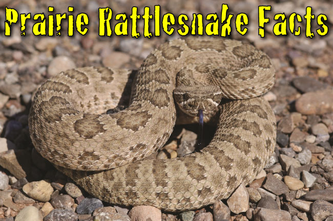 prairie rattlesnake facts