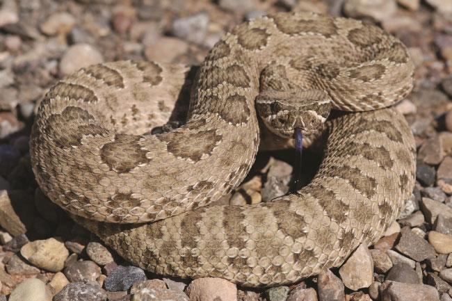 prairie rattlesnake habitat