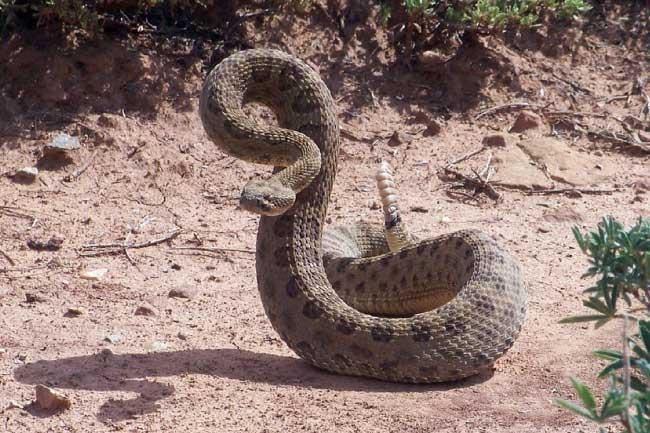 prairie rattlesnake striking