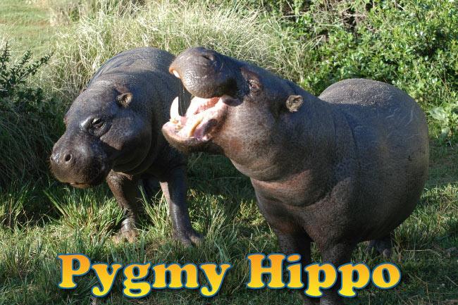 pygmy hippo facts