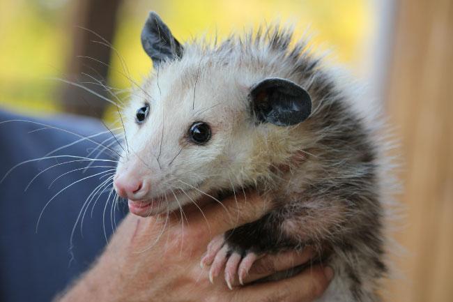 Virginia opossum being held