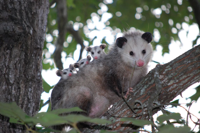 Virginia opossum carrying babies
