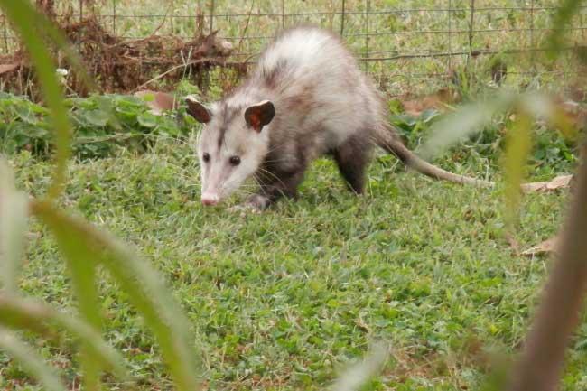 Virginia opossum in yard