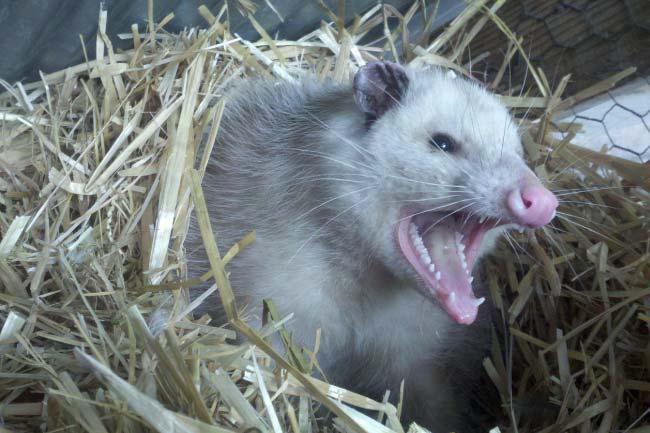 Virginia opossum teeth