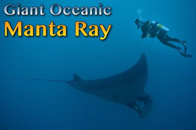 giant oceanic manta ray facts