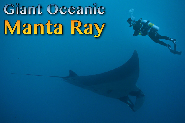 Giant Oceanic Manta Ray Facts Pictures Video Amp In Depth