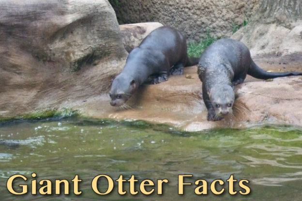 giant otter facts
