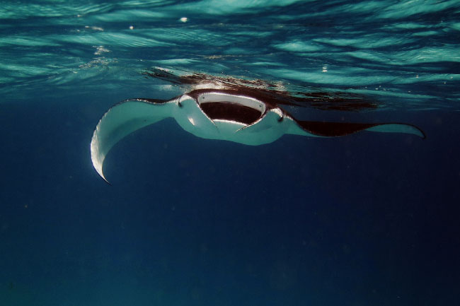 manta ray filter feeder