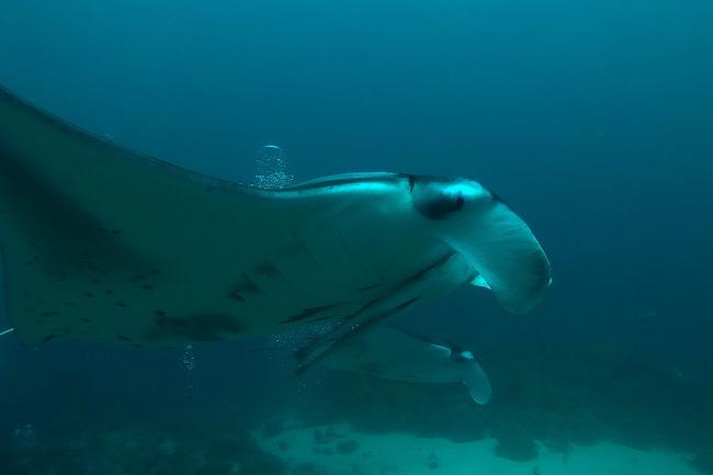 oceanic-manta-ray