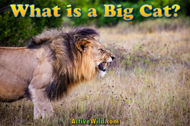 What Is A Big Cat Facts Definition Pictures Information Meet