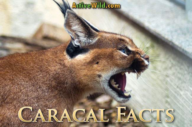 Caracal facts